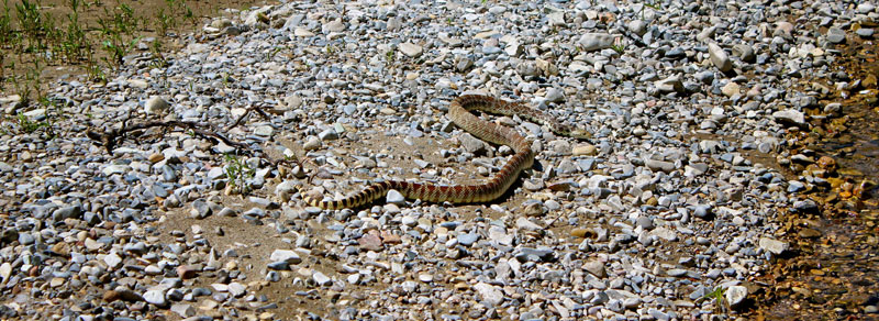 wildlife-bullsnake