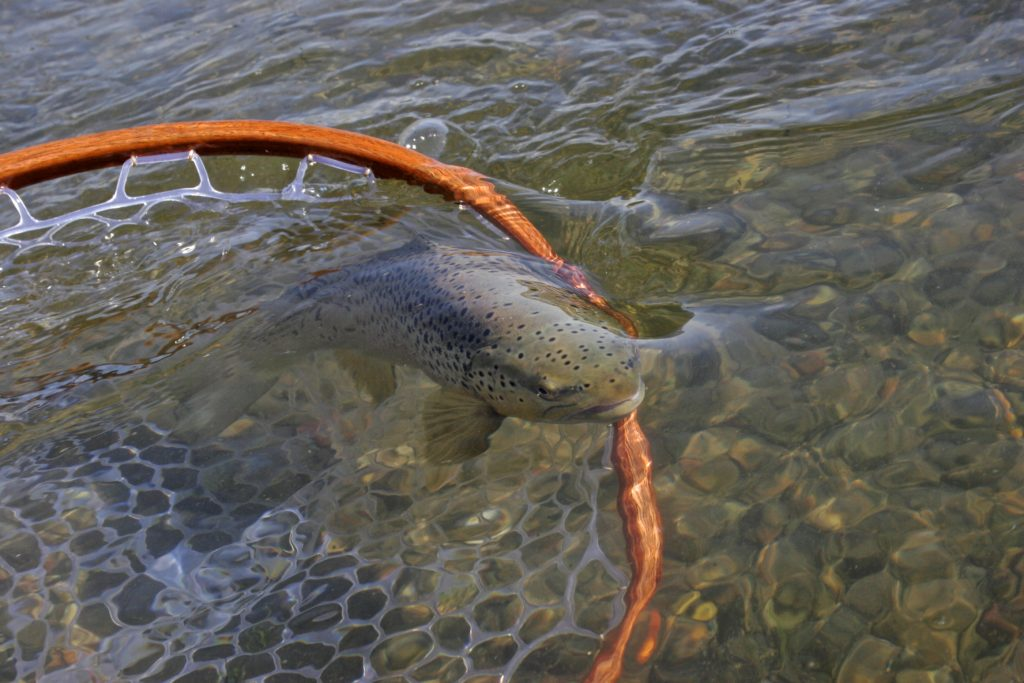 Brown Trout on the Missouri River fly fishing