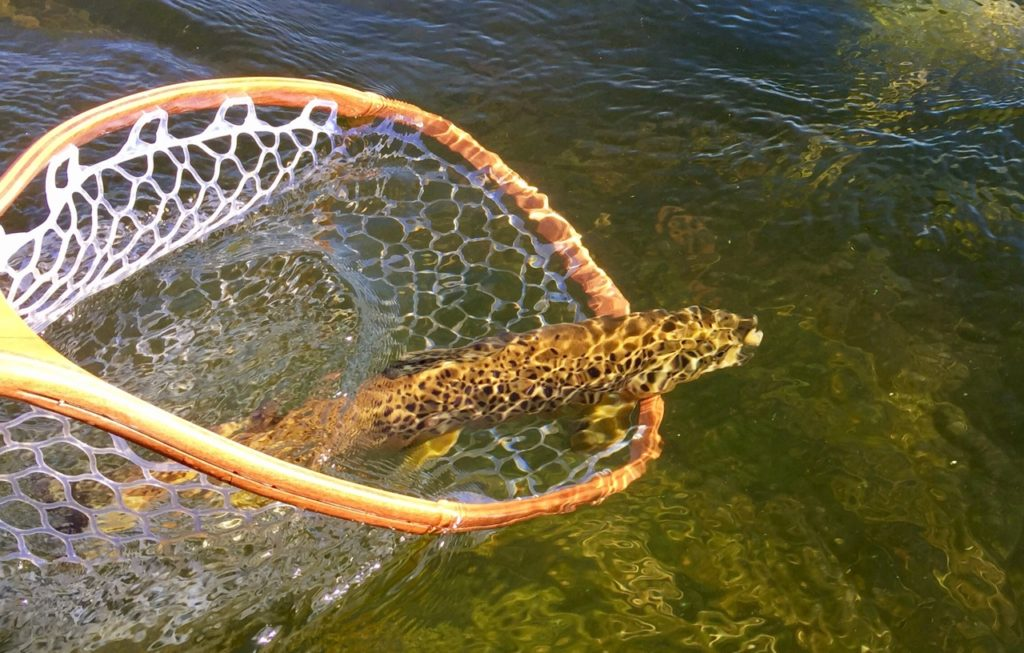 Brown Trout going home