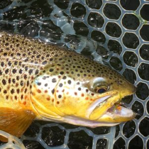 Missouri River Brown Trout on Dry Fly